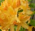 Golden Light Azelea